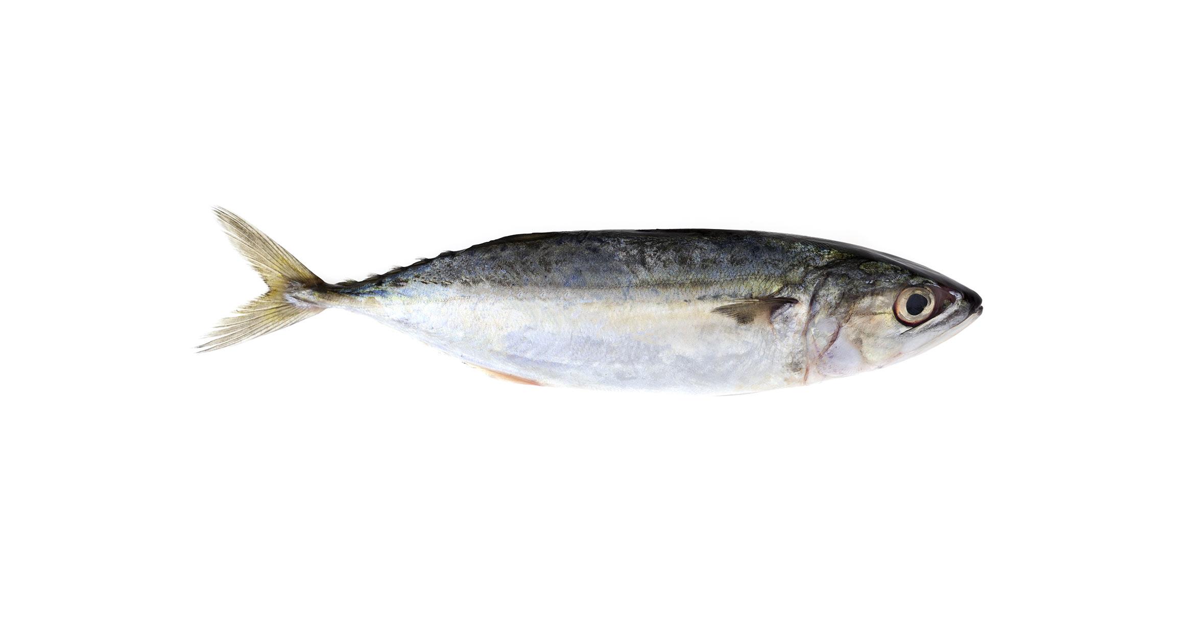 manfaat ikan kembung aruna