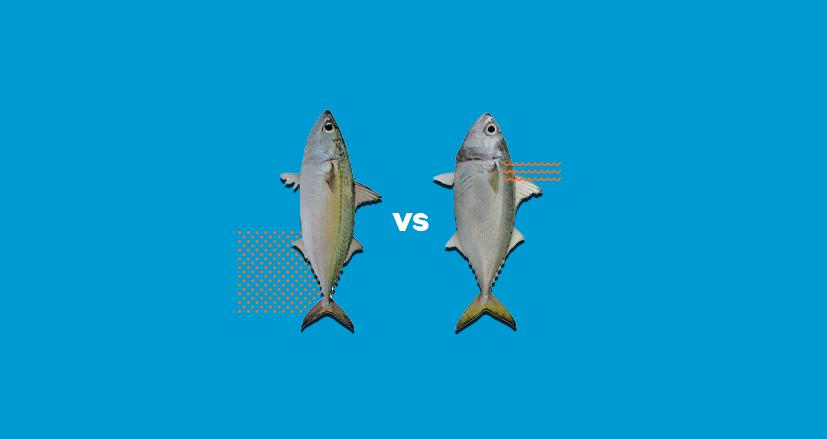 Ikan Kembung Perempuan dan Lelaki, Apa sih bedanya ?